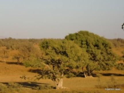 アルガンの樹