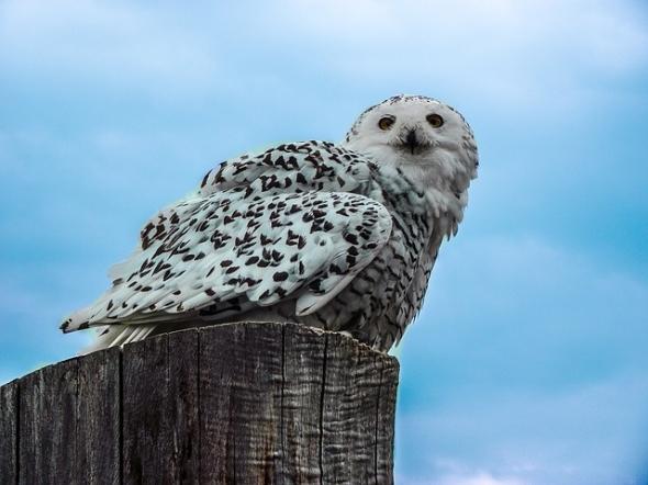 eagle-owl-227117_640